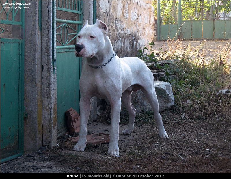 #Dogo Argentino vs boar | hog hunting with dogs | Pinterest